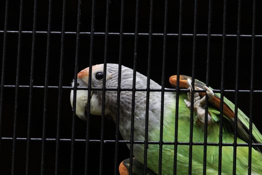Senegal parrot silver neck looking curious hanging in cage net
