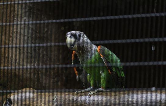 Senegal parrot silver neck looking curious