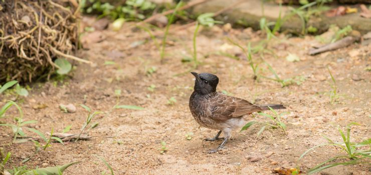 Red-vented bulbul bird on the ground searching insects for food while on full alert of the surroundings.