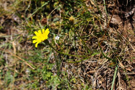 Yellow flower in the grass in autumn. Bjelasnica Mountain, Bosnia and Herzegovina.