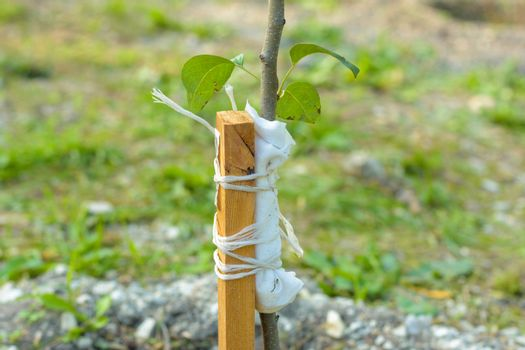 Garter to a peg of a freshly planted pear sapling