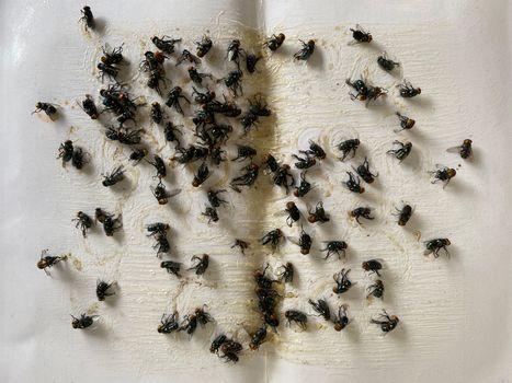 A lot of fly stick catcher sticky fly trap Close up of Many fly on the white background
