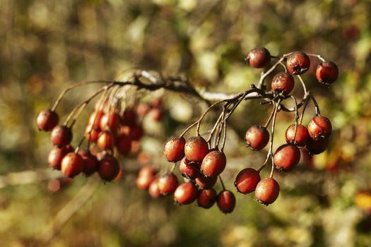 Common hawthorn fruits