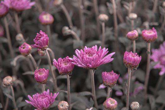 autumn purple chrysanthemum flowers in closeup