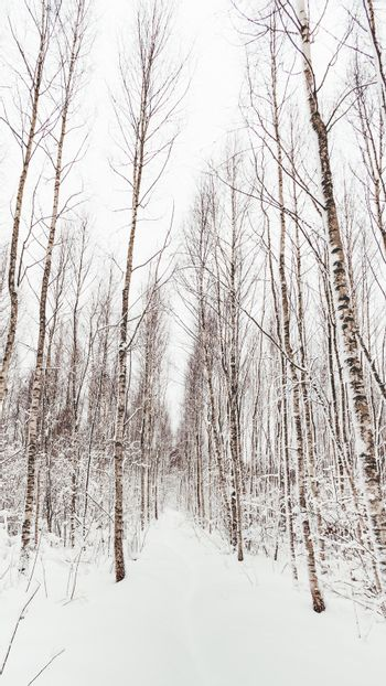 Winter forest. Snowy wood. Path between trees. Winter natural background with birch trees.