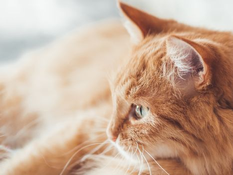 Close up portrait of cute ginger cat staring on something. Curious and funny pet. Fuzzy domestic animal.