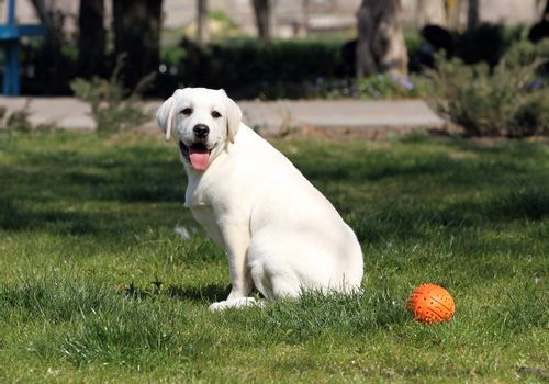 the yellow labrador in the park