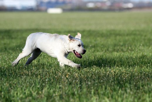 yellow labrador in the park