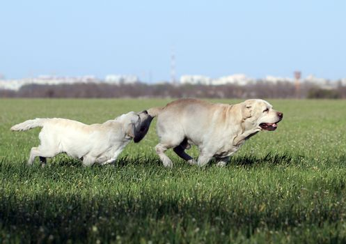 two yellow labrador in the park