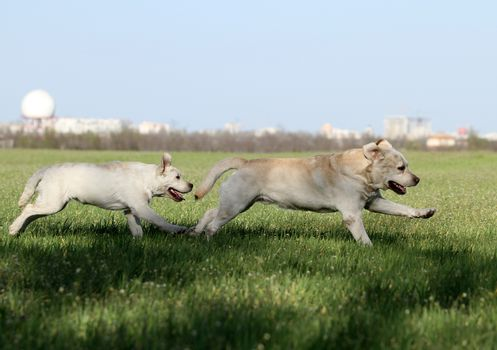 two nice yellow labrador in the park