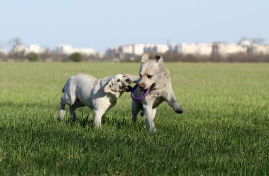 two sweet nice yellow labrador in the park