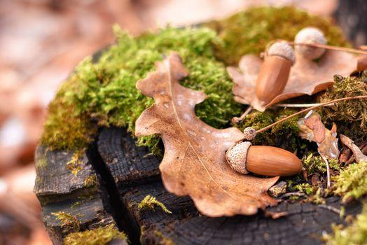 Acorns and oak leaves on a stump