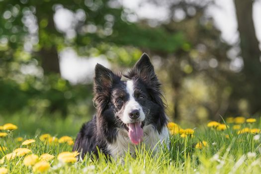 Portrait of Border Collie lying at the blossoming dandelion mead