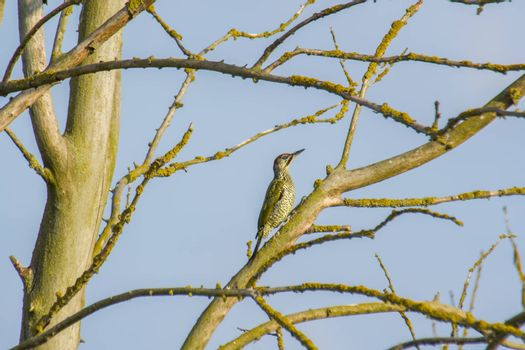 Green woodpecker on the branch of a tree