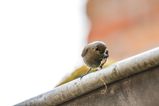 redstart female brings feed for the young