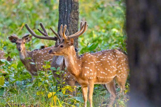 Spotted Deer, Cheetal, Royal Bardia National Park, Nepal