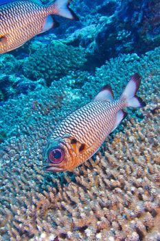 Bronze Soldierfish, North Ari Atoll, Maldives