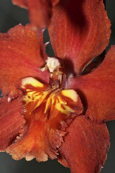 Tropical Orchid, Orchidaceae, Amazonia, Ecuador, America