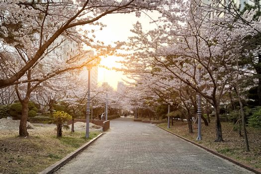 Garden Cherry blossom of Spring in Seoul, South Korea .