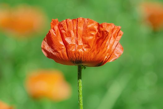 Blossom of poppy in the middle of the summer