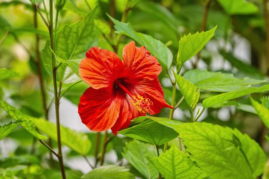 Hibiscus, genus of flowering plants in the mallow family, Malvaceae
