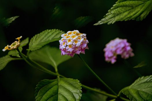 Lantana - perennial flowering plants in the verbena family