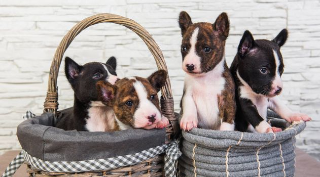 Four Funny small babies Basenji puppies dogs in the basket, greeting card