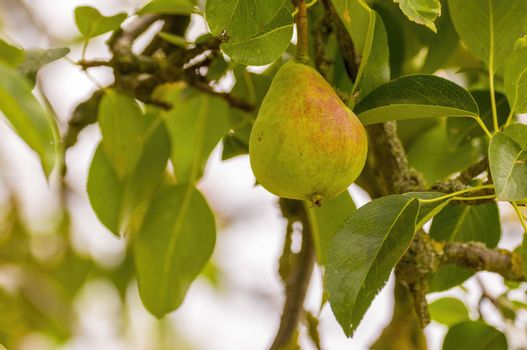 a delicious juicy pear on a tree in the seasonal garden