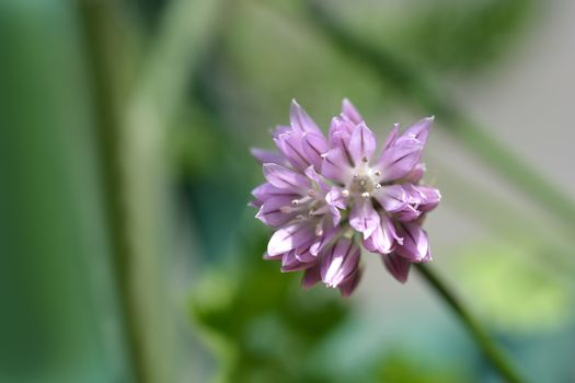 Chives flower