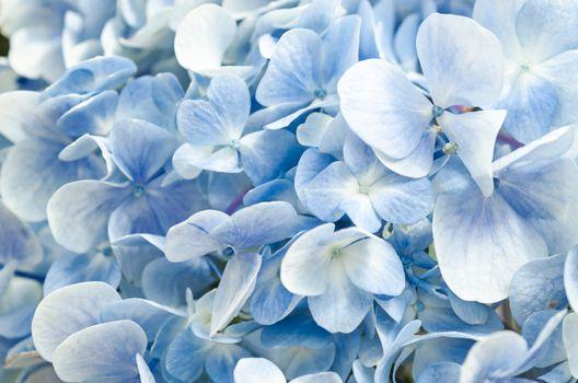Soft blue Hortensia flower.