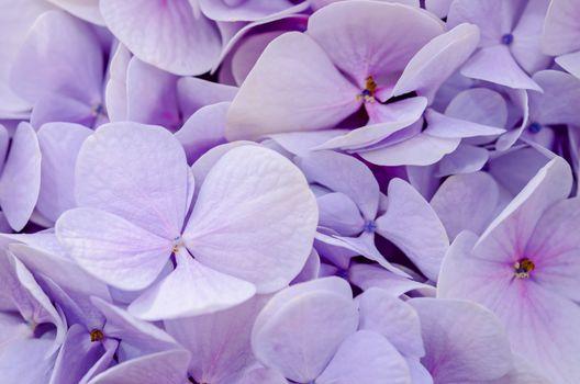 Soft violet Hortensia flower.