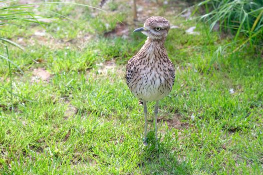 A cute Curlew chick, hunting for food in a grassy field.