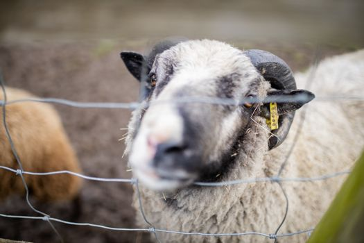 Horned black and white sheep sticking its snout out of a square knot fence