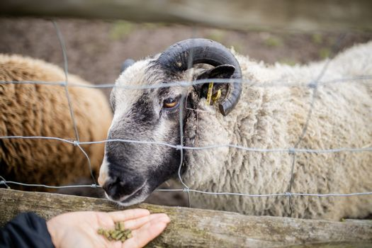 Horned black and white sheep sticking its snout out of a fence to eat