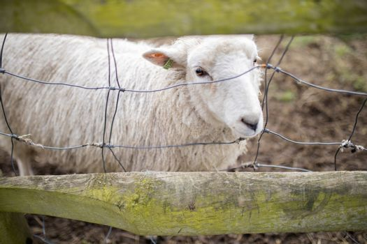 Cute white sheep sticking its snout out of a fence between two wooden planks