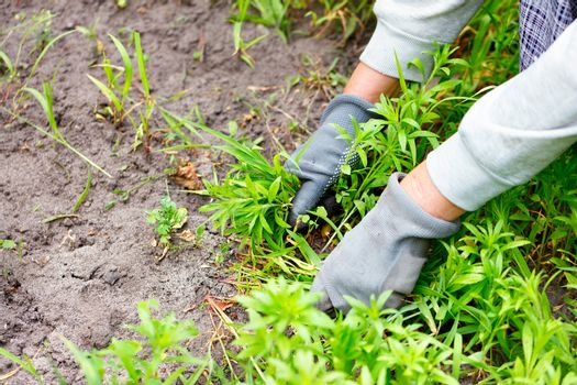 A farmer's hands with gloves weed the garden and remove the weeds.