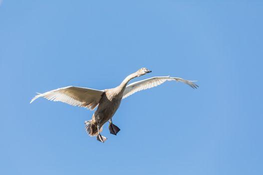 young Mute Swan, Cygnus Olor, In Flight