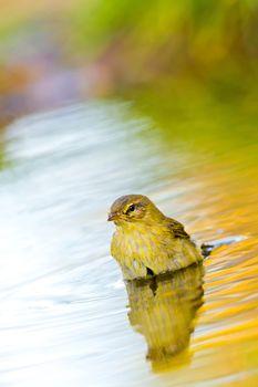 Willow Warbler, Forest Pond, Mediterranean Forest, Spain