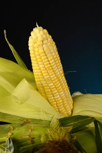 Some fresh corn on the cobb with one showing the kernels.