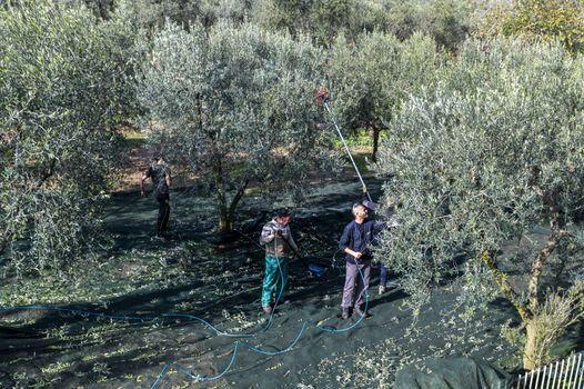 terni,italy november 10 2020:olive harvest in the November season with hydraulic hands