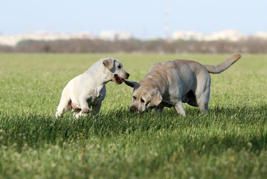 two nice sweet yellow labradors in the park