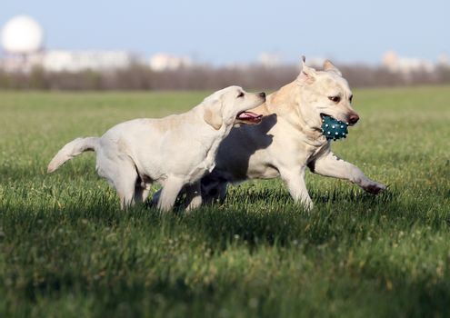 two lovely nice sweet yellow labradors in the park