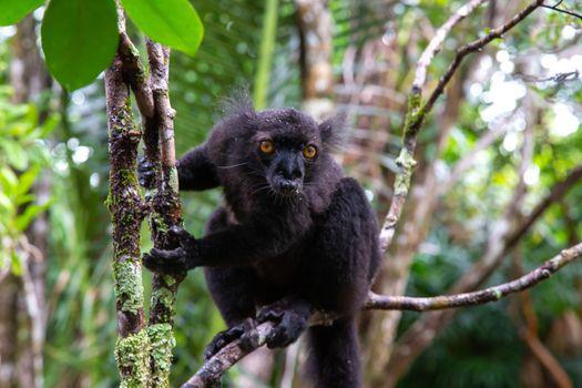 A black lemur on a tree awaiting a banana