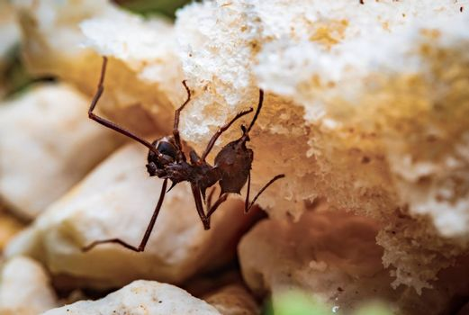 Macro photograph of a leaf cutter ant on a piece of bread