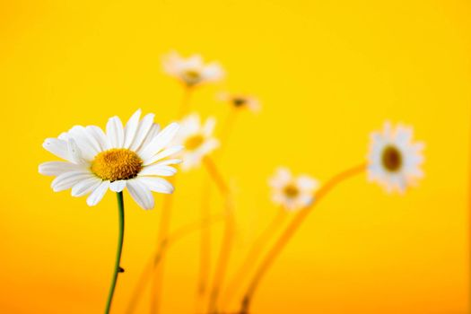 Camomile on yellow background