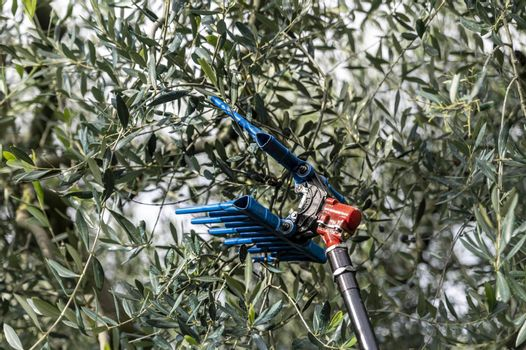 tool for harvesting olives on a stem during the harvesting period