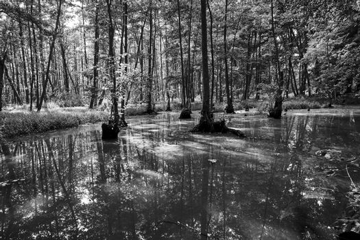 Deciduous trees growing in a marshy area in a forest