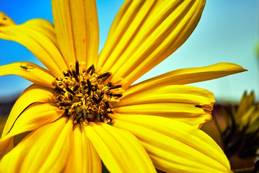 beautiful yellow false  sunflower in a meadow during autumn