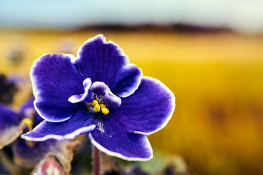 beautiful, purple African violet flower in a meadow during autumn