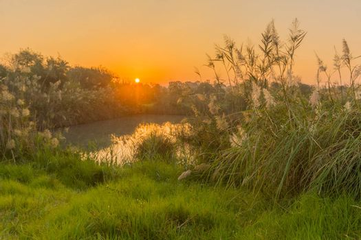 Sunrise view over wetland with Southern cattail, in En Afek nature reserve, northern Israel